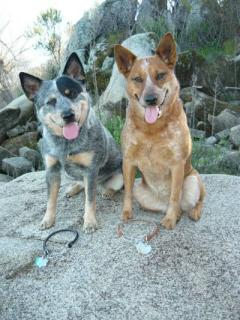 2 Australian Cattle Dogs on a rock with rolled collars