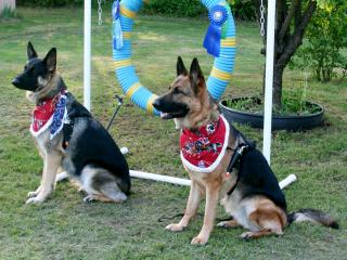 2 German Shepherds wearing Dog Guns & Bandanas