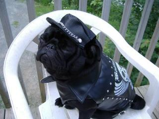 Black Pug wearing Black Biker Hat