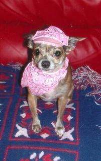 Chuahua wearing pink bandana print hat & bandana